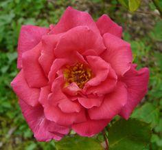 Hybrid Perpetual Rose: Rosa 'Xavier Olibo' (France, 1864)