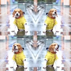 With my new yellow raincoat @yummypets #beagle