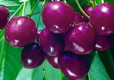 Carmine Jewel Dwarf Cherry- Sweet: Zone 2b, 6.5' tall, firm red sweet flesh, self pollinating, 20-30 lb yield per plant, ripens late June to early July