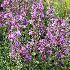 Germander Herb Seed - can be used as small evergreen ornamental hedge. Season: Perennial USDA Zones: 4 - 10 Height: 18 inches Bloom Season: Summer Bloom Color: Violet Environment: Full sun to partial shade Soil Type: Well-drained, pH 6.6 - 7.5 Deer Resistant: Yes