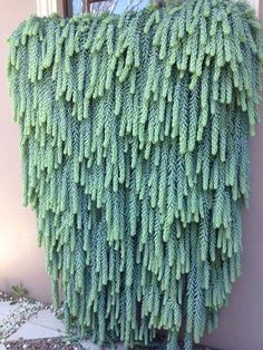 a glorious Burro's Tail Cactus