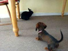 Rabbit vs. Dachshund Puppy