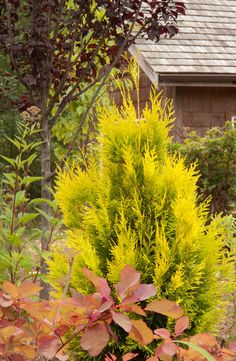 Narrow tree for tight spaces: Thuja plicata 'Forever Goldie' 'golden arborvitae' zones 3-7