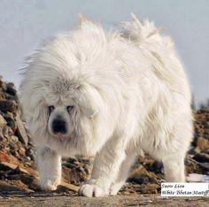 Biggest+White+Tibetan+Mastiff+Lion+Head.jpg 700×697 pixels