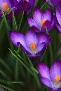 Первоцветы: крокусы и подснежники — Pepelnaya