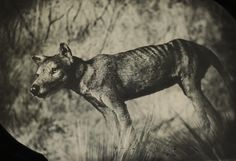 Pictures We Love: The Thylacine and the Pigeon | PROOF