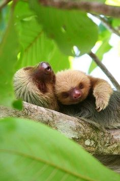 Sloth mother and her baby