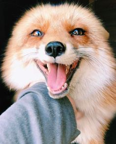 This furry animal loves to get stroked by good people! Happy Animals, Cute Baby Animals, Animals And Pets, Funny Animals, Fox Pictures, Cute Animal Pictures, Beautiful Creatures, Animals Beautiful, Wolf Hybrid