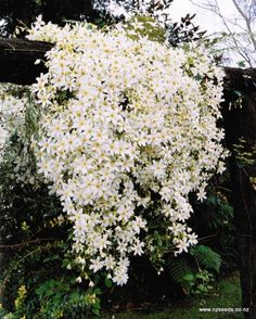 Clematis paniculata - fast growing climber w showy white flowers. Keep roots shaded.