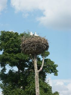 Storks in a nest found everywhere in Estonia