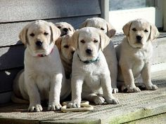 Barefoot Labradors, located Killingworth, CT, specializes in Labrador Retrievers for the family. Labrador Breeders, Labrador Retriever, Labs, Barefoot, Puppies, Cute, Animals, Labrador Retrievers, Animaux