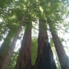 Serene and magical the redwoods are :)