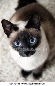 """""""Siamese Cat"""" - Cat stock photos available on Fotosearch.com"""