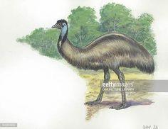 emu-illustration-illustration-id84283852 (612×474)