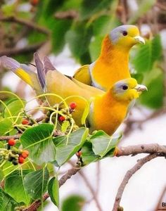 Yellow-footed Green Pigeons by Hercio Dias Kinds Of Birds, All Birds, Cute Birds, Pretty Birds, Little Birds, Beautiful Birds, Animals Beautiful, Cute Animals, Exotic Birds