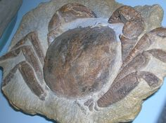 Fossil on display at the Denver Museum of Natural History