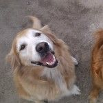 This is Abbey - 12 yrs. She is an owner surrender. She is spayed, current on vaccinations, potty trained, has good house manners, rides well in a car, knows some commands, gets along with cats & kids. She prefers to be the only dog in the house. Abbey is looking for a forever home & is at Coastal Golden Retriever Rescue, FL.