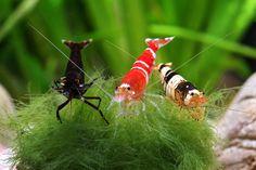 freshwater shrimp aquarium - Google Search
