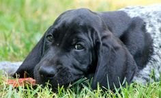 Boone the Coonhound Mix, Look at those Satiny Ears!!!