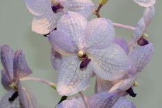 Cattleya Jungle Eyes Orchids Orchids Flora Et Bloom
