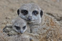 Meerkat young Holger forester
