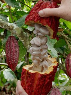 "Search Results for ""Chocolate"" Exotic Fruit, Tropical Fruits, Fruit Plants, Fruit Trees, Chocolate Tree, Cacao Chocolate, Pitaya, Cacao Fruit, Fresco"