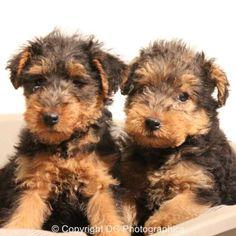Welsh Terrier | World of Animal