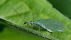 LACEWINGS (GOOD BUG ). Larvae feed for about a month, consuming about 600 aphids in that time. Because of their powerful hooked mandibles, lacewing larvae are often called aphid lions. Lacewings are common throughout North America. Multiple generations are common in warm climates.