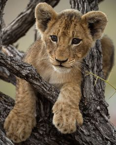 nice feet, little lion! Baby Kittens, Kittens Cutest, Cats And Kittens, Lion Pictures, Animal Pictures, Beautiful Cats, Animals Beautiful, Cute Baby Animals, Animals And Pets