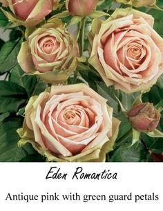 garden spray rose - Google Search