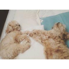 よく寝てます(∪。∪)。。。zzzZZ  #爆睡#セナくん#あいるちゃん  #ぷーちー #ちわぷー #たいにーぷーどる #プードル#チワワ#愛犬#多頭#senna #ayr #mixdog#love  #dog#pet #pets #animal #dogsofinstagram #ilovemydog #instagramdogs#dogstagram#lovedogs #doglover #instadog