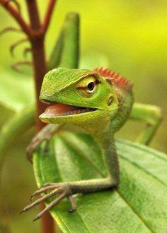 Sri Lankan Green Garden Lizard, Calotes calotes