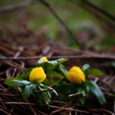 Vestfynske erantis #beautiful #outdoor #nature #landscape #bestofscandinavia #worldunion #wu_europe #igers #igdaily #igscandinavia #danmark #nofilter #vsco #vscocam #picoftheday #photooftheday #instagood #instamood #instadaily #assens #assensnatur #visitassens #visitdenmark #instapic #instagram #friluftsliv #winter #photo #photooftheday #erantis