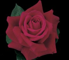 Purchase our Mister Lincoln Hybrid Tea Rose. Many consider this classic beauty to be the best red tea rose ever, with its huge blooms of deep velvety re.