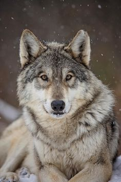 🐺If you Love Wolves, You Must Check The Link In Our Bio 🔥 Exclusive Wolf Related Products on Sale for a Limited Time Only! Tag a Wolf Lover! Wolf Photos, Wolf Pictures, Wolf Love, The Animals, Wild Animals, Baby Animals, Wolf Spirit, Spirit Animal, Beautiful Creatures