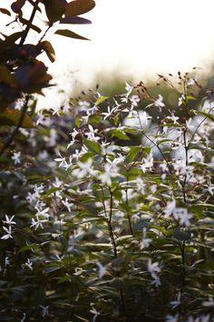 """""""Och jag förstår ju själv att det blir ett litet motstridigt budskap när trädgården ser ut så som här"""", säger hon och nickar kort mot de rätt perfekta vackra rabatterna, de ståtliga perennerna, den sammetslena gräsmattan liksom de slående kompositionerna. Trebladsspirea Gillenia trifoliata är en ny favoritväxt. Victoria planterar tre plantor i grupp. I augusti kan de klippas ner och blomma om. Jättefint i buketter."""
