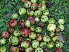 Waimea Nurseries grows a range of fruit trees with two or three varieties on the one tree. Prune Plum, Japanese Plum, Garden Solutions, Vase Shapes, Best Fruits, Prunus, One Tree, Fruit Trees, Clean Up
