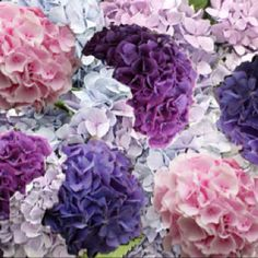 oh Hydrangea...every color is beautiful