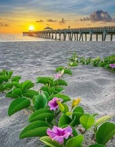 Purple flowers at the beach along the Juno Beach Pier during sunrise over Palm Beach County, Florida. Beach Flowers, Purple Flowers, Beautiful Nature Wallpaper, Beautiful Landscapes, Beautiful World, Beautiful Images, Juno Beach Pier, Palm Beach, Landscape Photography