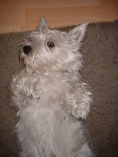 """West Highland Terrier -  """"You Lookin' At ME ?""""         Community - Google+"""