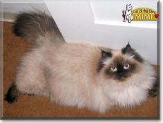 Read Mimi the Himalayan's story from Santa Barbara, California and see her photos at Cat of the Day http://CatoftheDay.com/archive/2011/August/26.html .