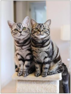 American Shorthair Cat Breeds - Cats In Care Cat Breeds List, Best Cat Breeds, Quiet Cat, Found Cat, American Shorthair Cat, Cat Toilet Training, Cats For Sale, Pretty Cats, Pretty Kitty