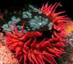 A strawberry anemone (Tealia lofotensis) captures drift kelp with its ...