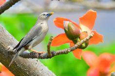 灰頭椋鳥 Chestnut-tailed Starling (Sturnus malabaricus), photo by 廖明仁