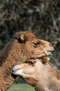 Two dromedaries bask in the sun at Berlin's Tierpark zoo on March 27, 2014.