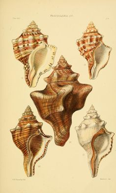 5 plates - Thesaurus conchyliorum, or, Monographs of genera of shells / - Biodiversity Heritage Library Antique Illustration, Botanical Illustration, Photo Wall Collage, Collage Art, Shell Tattoos, Fauna Marina, Painted Shells, Polychromos, Gravure