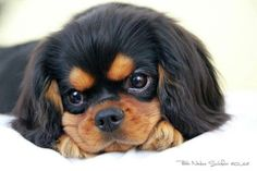 king charles cavalier black and tan - Google Search