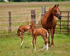 Arabian mare with her twin foals :)
