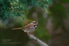 White-crowned Sparrow by ikord via http://ift.tt/2pJqHtW