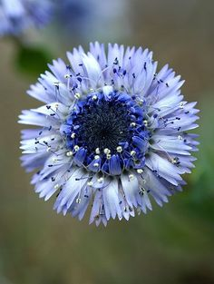 Globularia alypum L. (Globe Daisy)  Flowers: Late spring through to early summer; further blooming possible through to autumn.